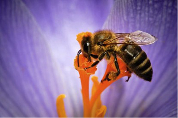 Going organic to help bees pollinate