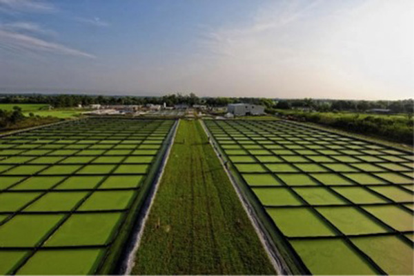 Algal biofuel production