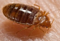 get rid of bed bugs naturally
