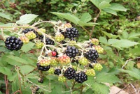 blackberries 5 of the Best Foods to Forage and Where to Find Them