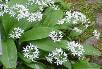 wild garlic 5 of the Best Foods to Forage and Where to Find Them