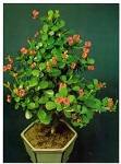 crown of thorns The 5 best indoor plants for your home